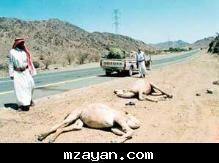 حوادث الابل الطرق....!!! 27900483c52a3a255c.j